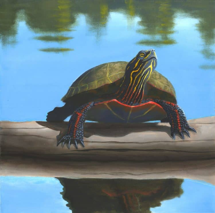 Freshwater painted turtle on a log by Robert The Artist