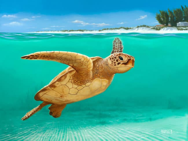 Green turtle swimming by Anna Maria Island Florida